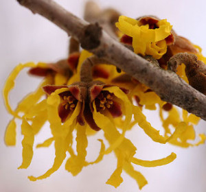 10 Surprising Uses for Witch Hazel